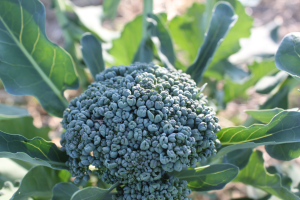 Broccoli heads beginning to form in the garden