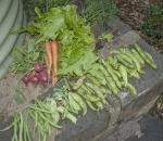 the harvest - carrots, lettuce, radish, beans, snowpeas, broadbeans