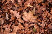 brown leaves on the ground