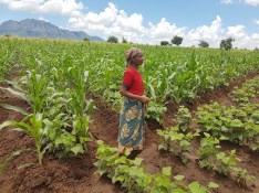 A woman stands on a field intercropping beans and maize in Sussundenga, Manica province, Mozambique. (Photo: Luis Jose Cabango)